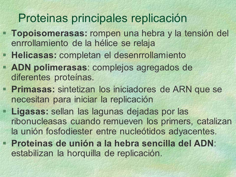 Proteinas principales replicación §Topoisomerasas: rompen una hebra y la tensión del enrrollamiento de la hélice se relaja §Helicasas: completan el de