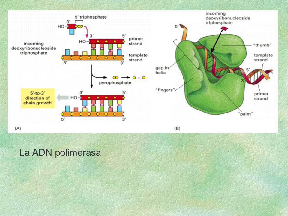La ADN polimerasa