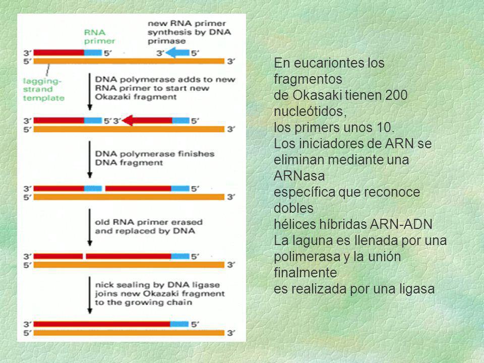 En eucariontes los fragmentos de Okasaki tienen 200 nucleótidos, los primers unos 10. Los iniciadores de ARN se eliminan mediante una ARNasa específic