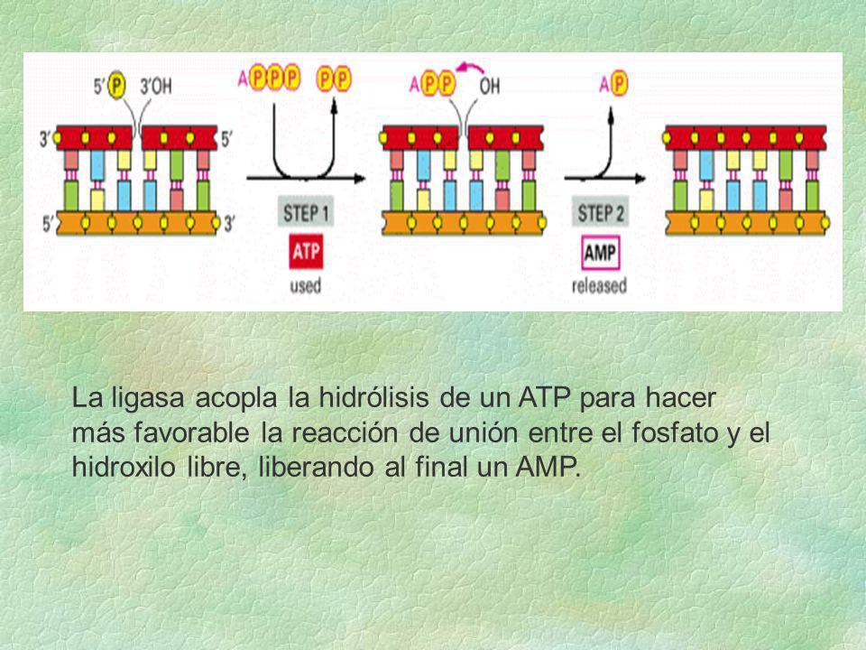 La ligasa acopla la hidrólisis de un ATP para hacer más favorable la reacción de unión entre el fosfato y el hidroxilo libre, liberando al final un AM