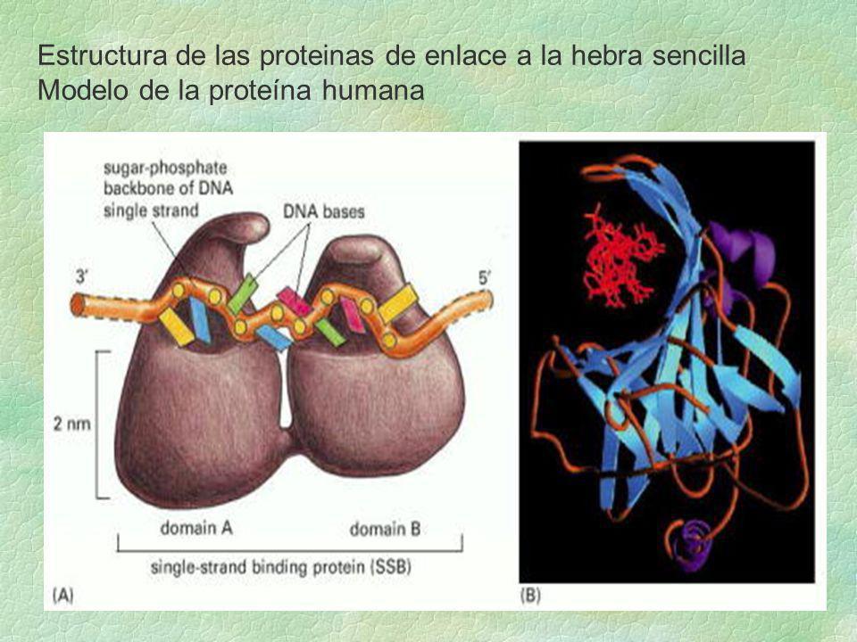 Horquilla de replicación en los mamíferos: Dos polimerasas diferentes en la hebra retardada, primero empieza la pol sintetizando el primer de ARN algo del ADN porque tiene una subunidad primasa, luego sigue trabajando la pol en la elongación del fragmento