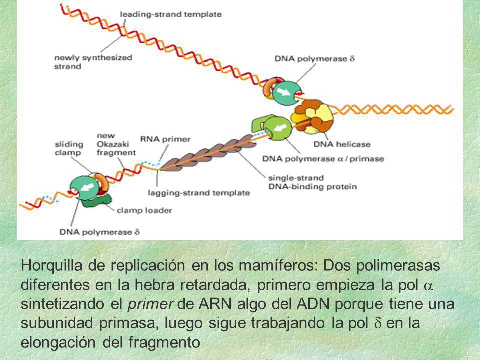Horquilla de replicación en los mamíferos: Dos polimerasas diferentes en la hebra retardada, primero empieza la pol sintetizando el primer de ARN algo