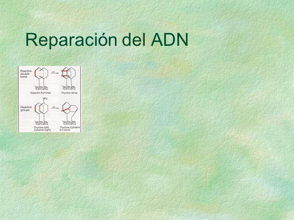 Tipos de daño al ADN Mecanismos endógenos: 1.Pérdida de bases tipo purinas por ruptura espontánea del enlace con el azúcar 5000/día/célula humana 2.Deaminación espontánea de citosinas y adeninas produce uracilo e hipoxantina 3.Moléculas con oxígenos reactivos atacan los anillos de las bases nitrogenadas 4.La ADN polimerasa puede incorporar bases equivocadas en la replicación 5.Errores en la replicación o recombinación provocan fracturas en el ADN