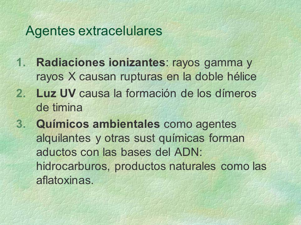 Agentes extracelulares 1.Radiaciones ionizantes: rayos gamma y rayos X causan rupturas en la doble hélice 2.Luz UV causa la formación de los dímeros d