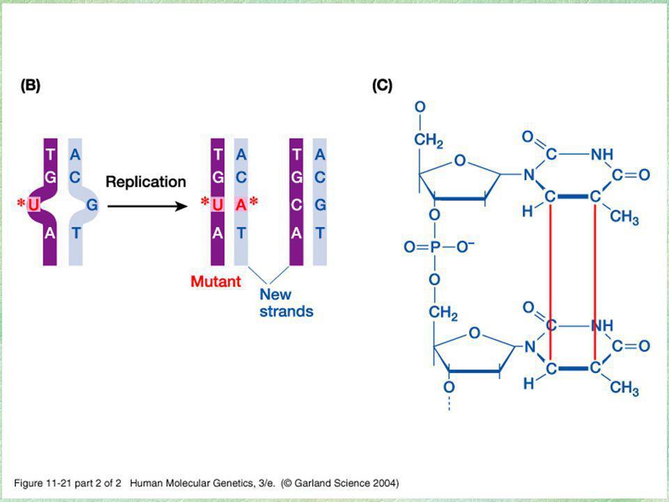 Mecanismos de detección y reparación de daños al ADN Sistemas enzimáticos para reconocer, eliminar y reparar daños inducidos al ADN se han descrito y estudiado bien en bacterias El estudio de los síndromes hereditarios de predisposición al cáncer ha permitido ampliar el conocimiento en el ser humano