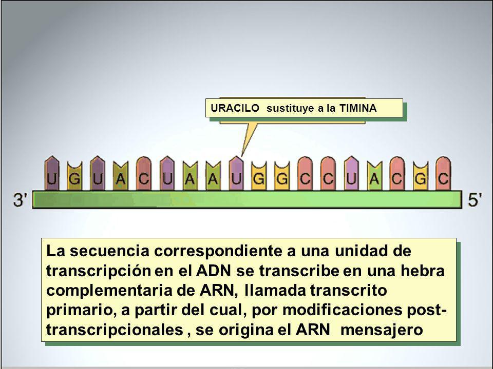 URACILO sustituye a la TIMINA La secuencia correspondiente a una unidad de transcripción en el ADN se transcribe en una hebra complementaria de ARN, l