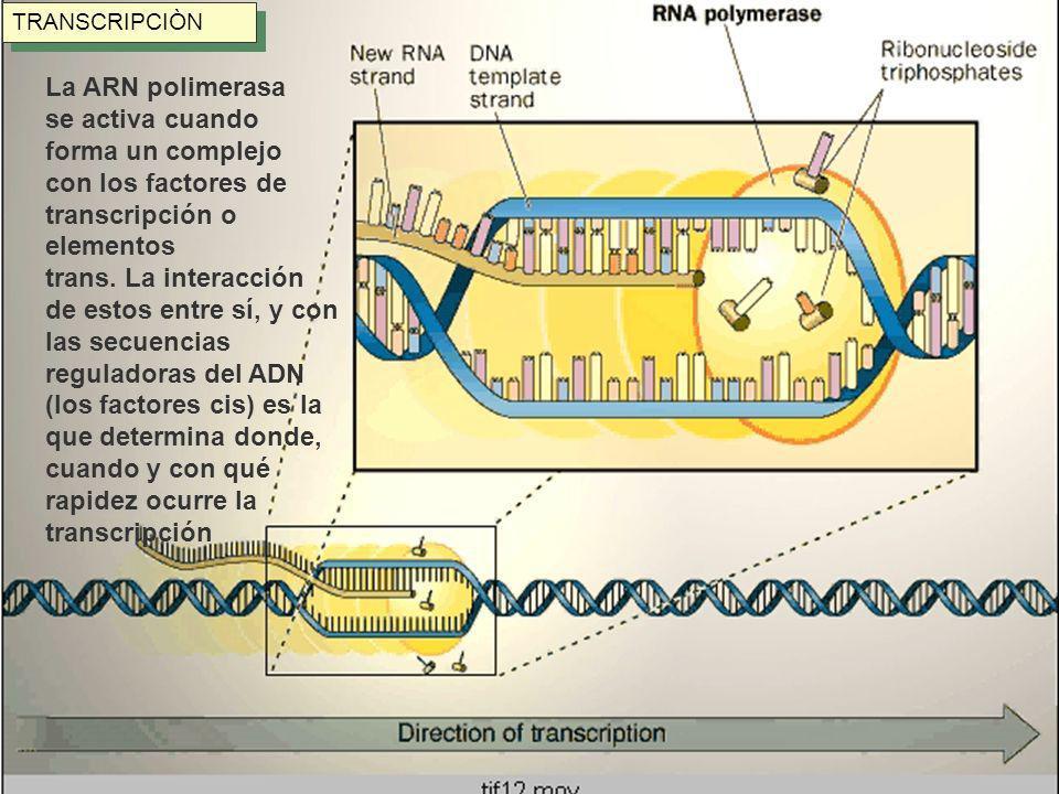 TRANSCRIPCIÒN La ARN polimerasa se activa cuando forma un complejo con los factores de transcripción o elementos trans. La interacción de estos entre