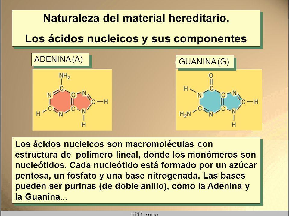 Naturaleza del material hereditario. Los ácidos nucleicos y sus componentes Naturaleza del material hereditario. Los ácidos nucleicos y sus componente