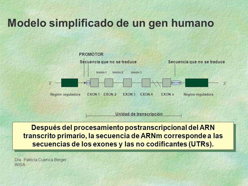 Procesamiento postranscripcional del ARN §Corte en 5 y unión de un cap(5-metilguanosina), para proteger del ataque de las exonucleasas, facilitar el transporte núcleo-citoplasma, y el anclaje del ARNm al ribosoma §Corte en 3 y unión de una cola de poli-A (200 AMP), confiere estabilidad y ayuda en la traducción §Eliminación de los intrones, por formación de un complejo snARNs-proteinas: spliceosoma, el cual es específico.