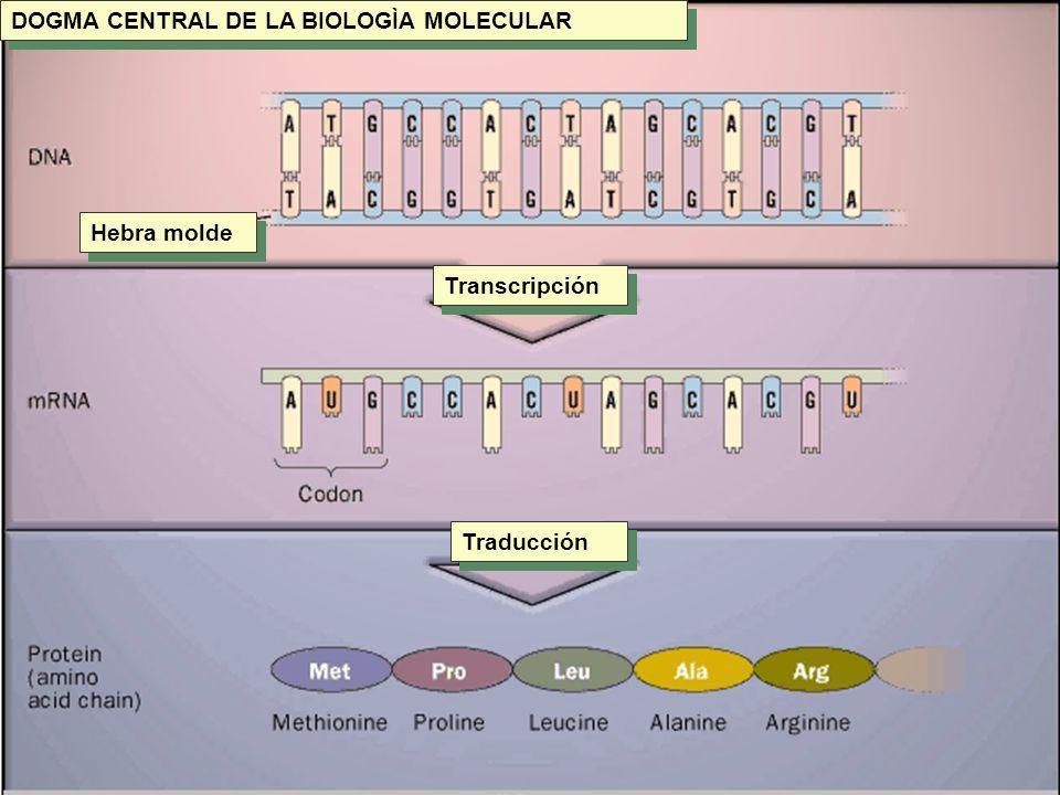 TRADUCCIÓN ARN --- Proteína TRADUCCIÓN ARN --- Proteína