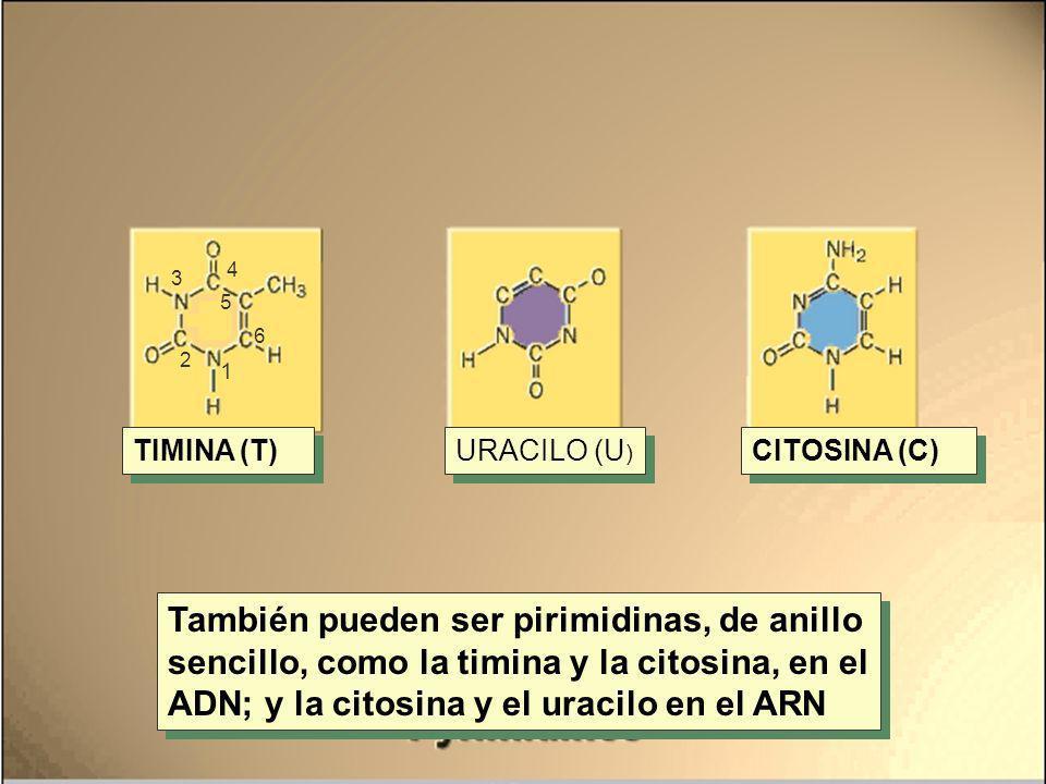 También pueden ser pirimidinas, de anillo sencillo, como la timina y la citosina, en el ADN; y la citosina y el uracilo en el ARN TIMINA (T) URACILO (