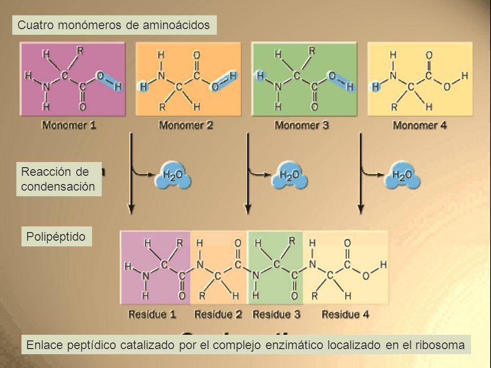 Cuatro monómeros de aminoácidos Reacción de condensación Polipéptido Enlace peptídico catalizado por el complejo enzimático localizado en el ribosoma