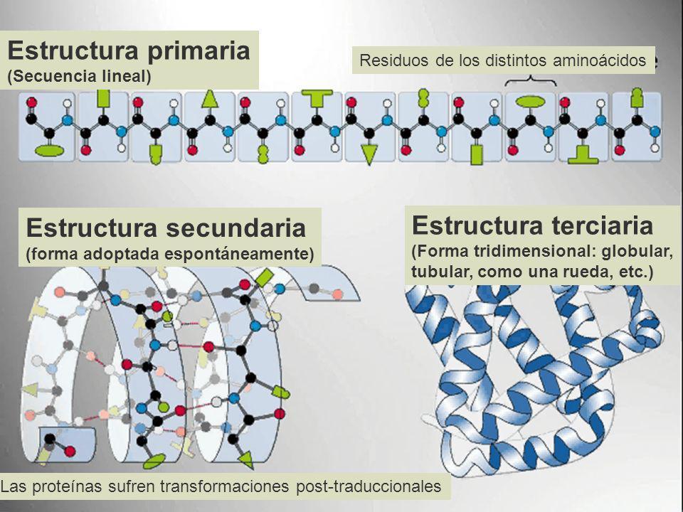 Estructura primaria (Secuencia lineal) Residuos de los distintos aminoácidos Estructura secundaria (forma adoptada espontáneamente) Estructura terciar