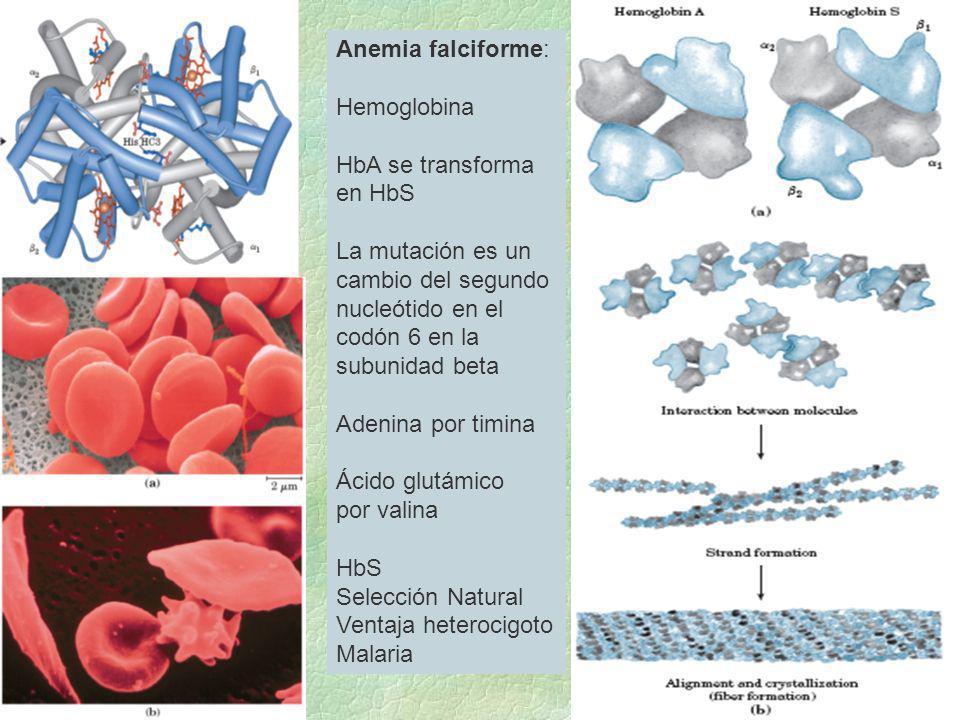 Anemia falciforme: Hemoglobina HbA se transforma en HbS La mutación es un cambio del segundo nucleótido en el codón 6 en la subunidad beta Adenina por