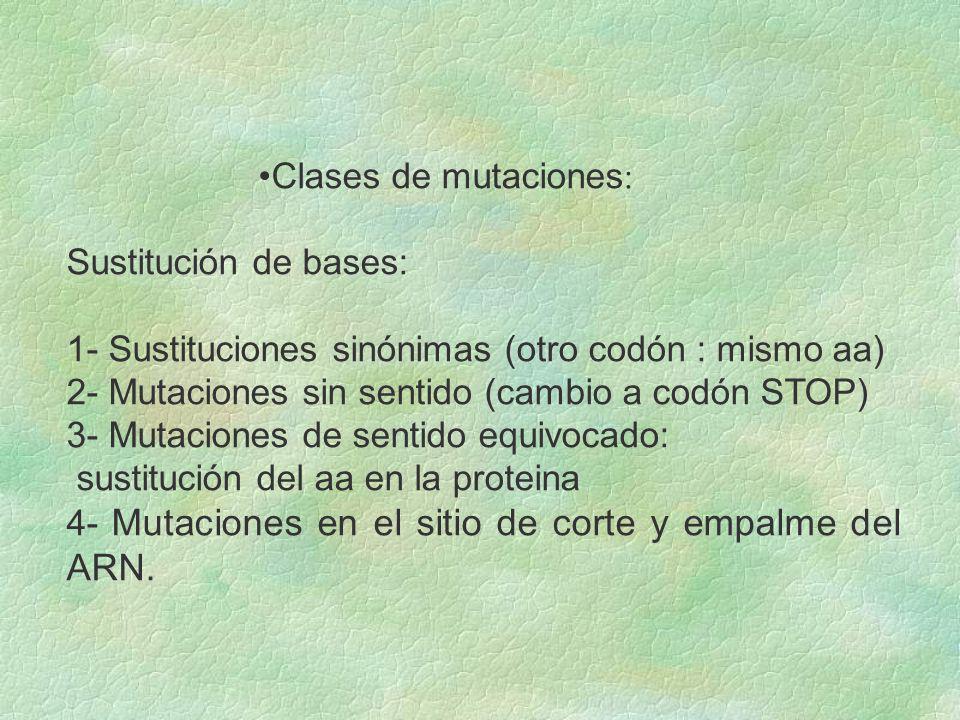 Clases de mutaciones : Sustitución de bases: 1- Sustituciones sinónimas (otro codón : mismo aa) 2- Mutaciones sin sentido (cambio a codón STOP) 3- Mut