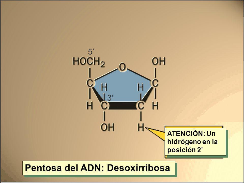 Pentosa del ADN: Desoxirribosa ATENCIÒN: Un hidrógeno en la posición 2 3 5