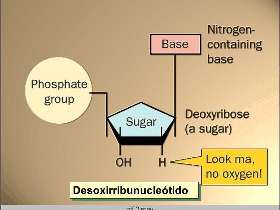 Desoxirribunucleótido