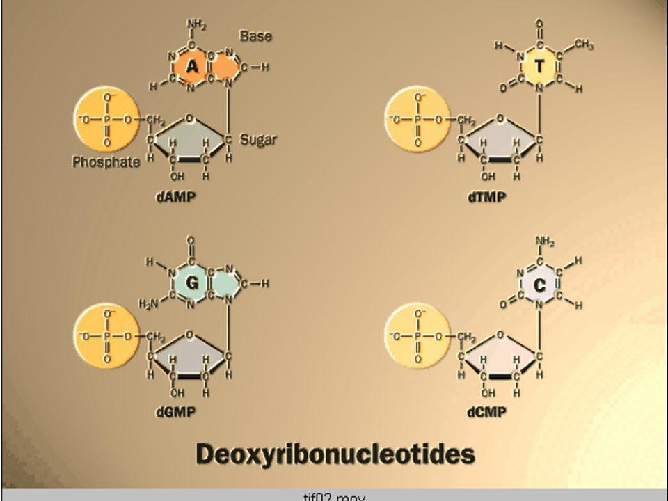 La molécula de ADN es una doble hélice antiparalela (Watson y Crick 1953)