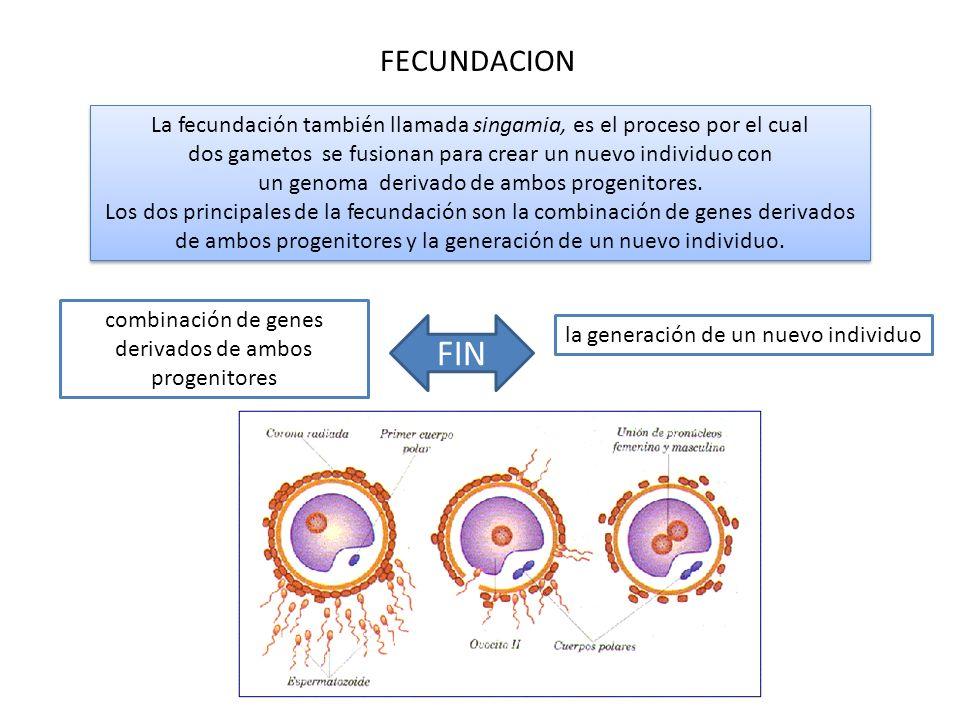 FECUNDACION La fecundación también llamada singamia, es el proceso por el cual dos gametos se fusionan para crear un nuevo individuo con un genoma der