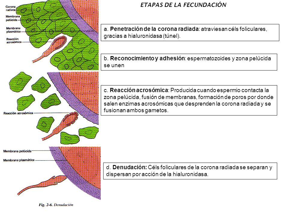 ETAPAS DE LA FECUNDACIÓN a. Penetración de la corona radiada: atraviesan céls foliculares, gracias a hialuronidasa (túnel). b. Reconocimiento y adhesi