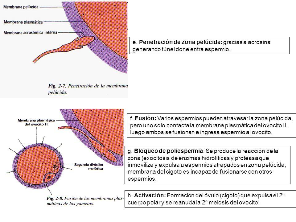 e. Penetración de zona pelúcida: gracias a acrosina generando túnel done entra espermio. f. Fusión: Varios espermios pueden atravesar la zona pelúcida