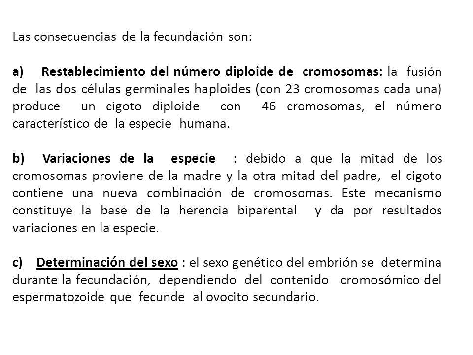 Las consecuencias de la fecundación son: a) Restablecimiento del número diploide de cromosomas: la fusión de las dos células germinales haploides (con