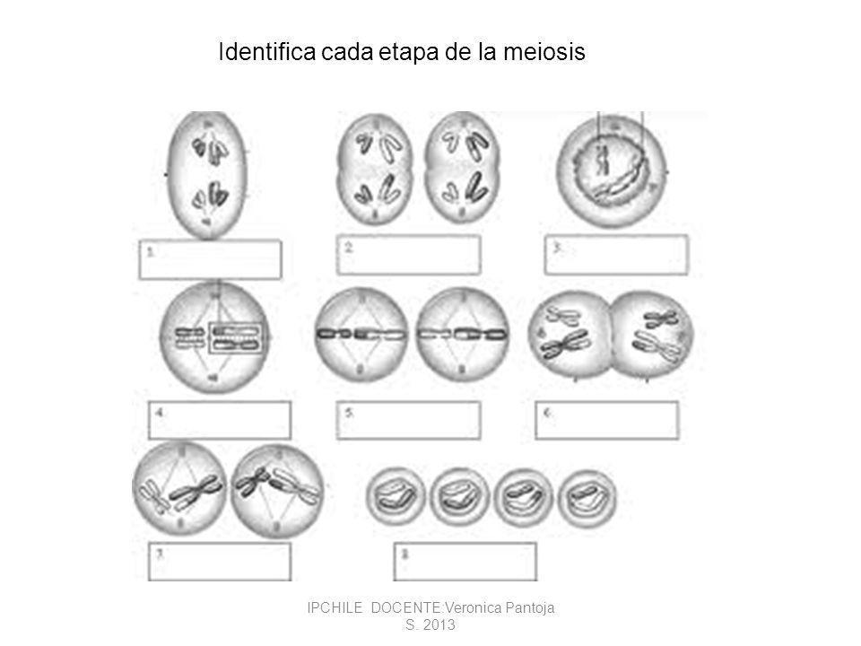 Identifica cada etapa de la meiosis IPCHILE DOCENTE:Veronica Pantoja S. 2013