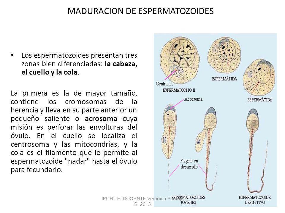 MADURACION DE ESPERMATOZOIDES Los espermatozoides presentan tres zonas bien diferenciadas: la cabeza, el cuello y la cola.