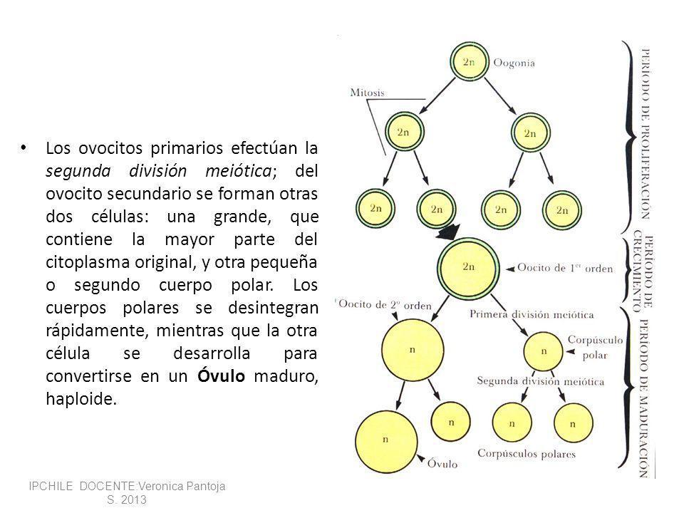 Los ovocitos primarios efectúan la segunda división meiótica; del ovocito secundario se forman otras dos células: una grande, que contiene la mayor parte del citoplasma original, y otra pequeña o segundo cuerpo polar.