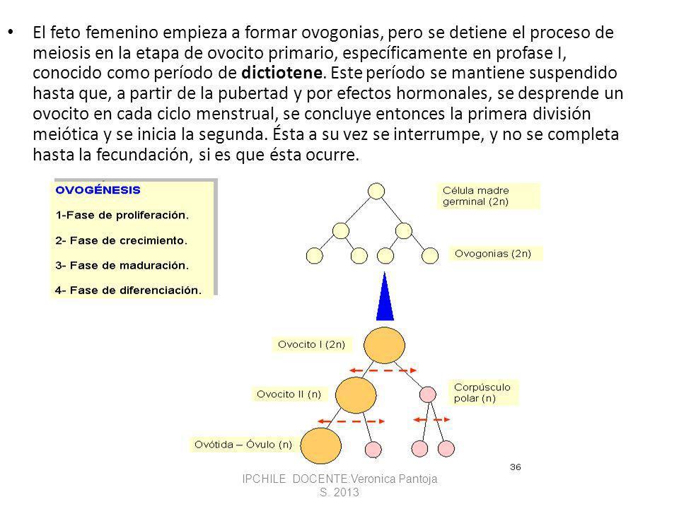 El feto femenino empieza a formar ovogonias, pero se detiene el proceso de meiosis en la etapa de ovocito primario, específicamente en profase I, conocido como período de dictiotene.