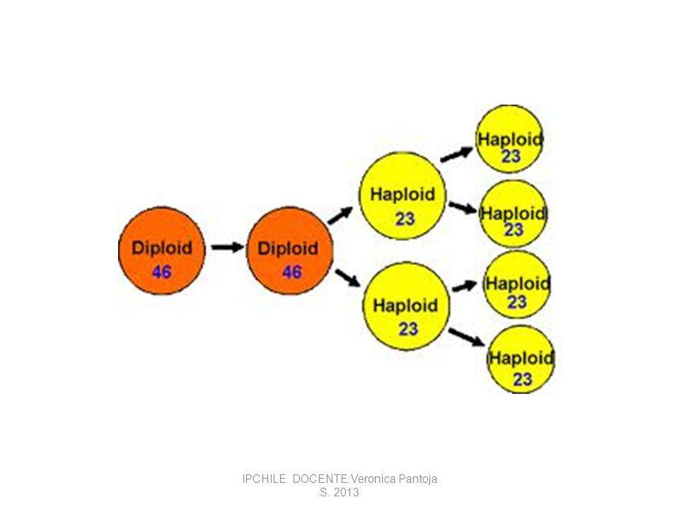 La interfase antes de la meiosis es similar a la interfase de la mitosis.