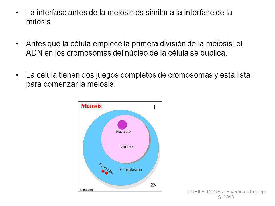 La meiosis consiste en dos divisiones sucesivas, cada una de las cuales se divide en fases similares a las de la mitosis.