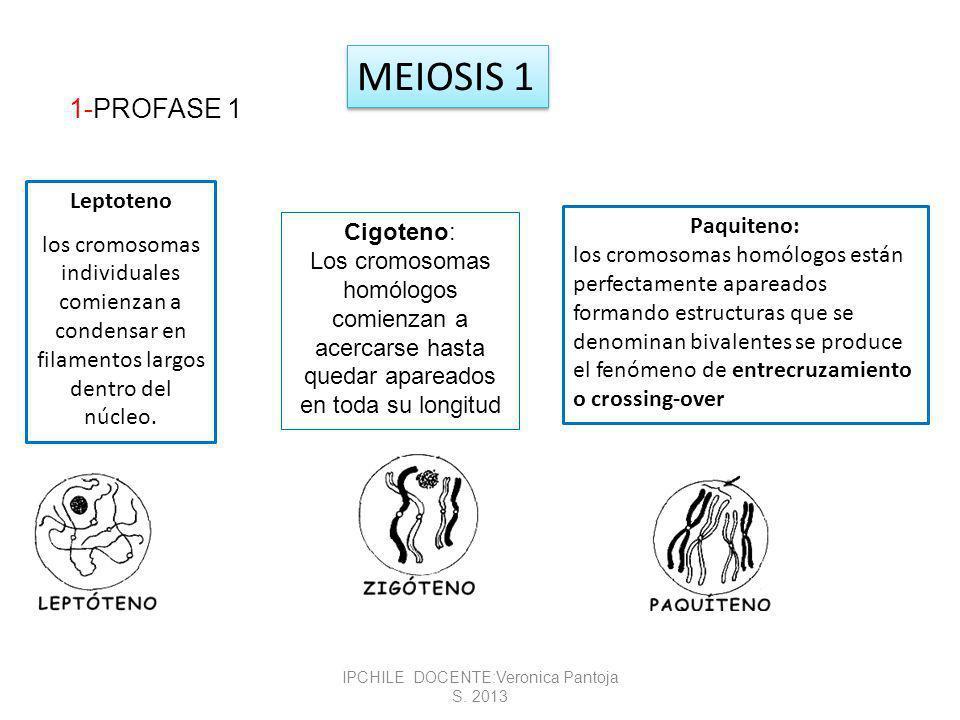 Diacinesis: rompimiento de la membrana nuclear.