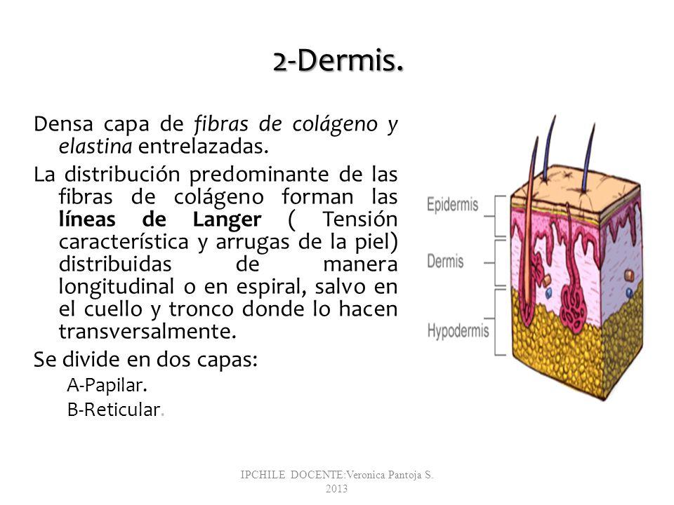 2-Dermis. Densa capa de fibras de colágeno y elastina entrelazadas. La distribución predominante de las fibras de colágeno forman las líneas de Langer