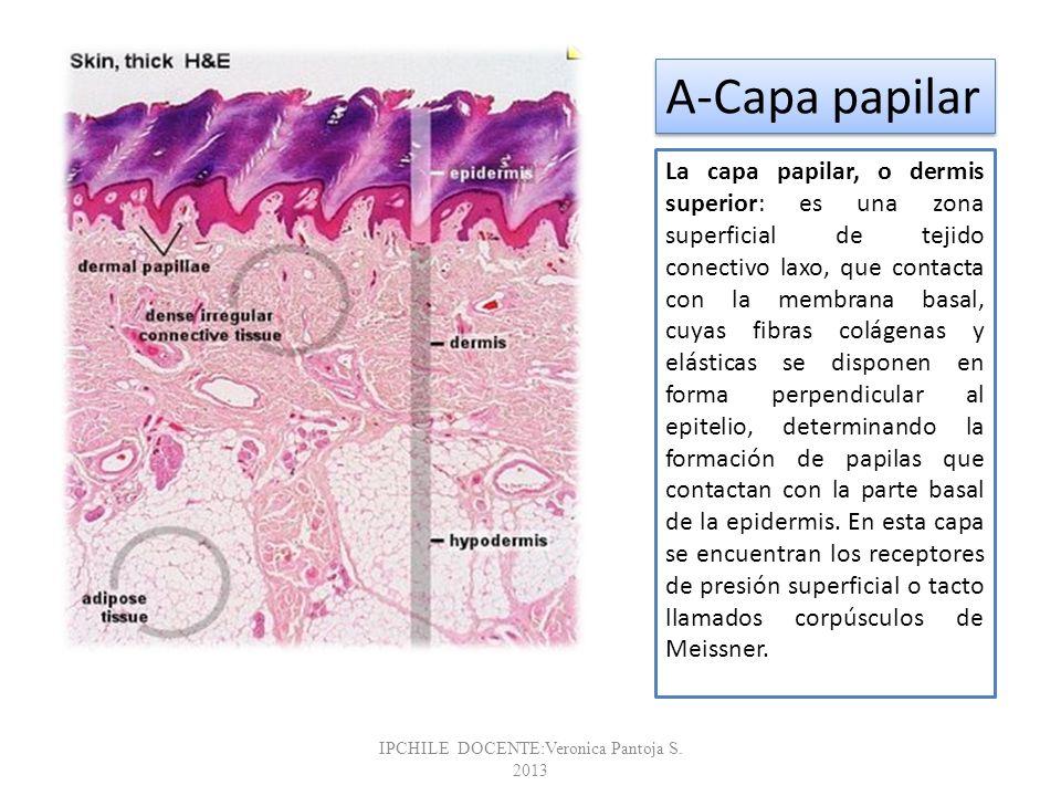 La capa papilar, o dermis superior: es una zona superficial de tejido conectivo laxo, que contacta con la membrana basal, cuyas fibras colágenas y elá