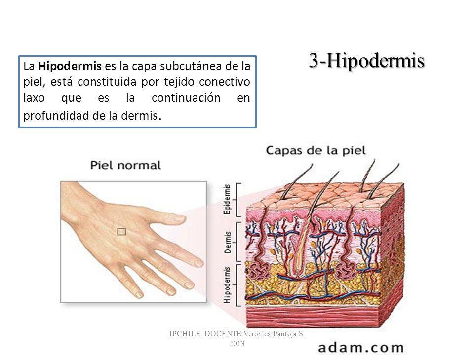 La Hipodermis es la capa subcutánea de la piel, está constituida por tejido conectivo laxo que es la continuación en profundidad de la dermis. 3-Hipod