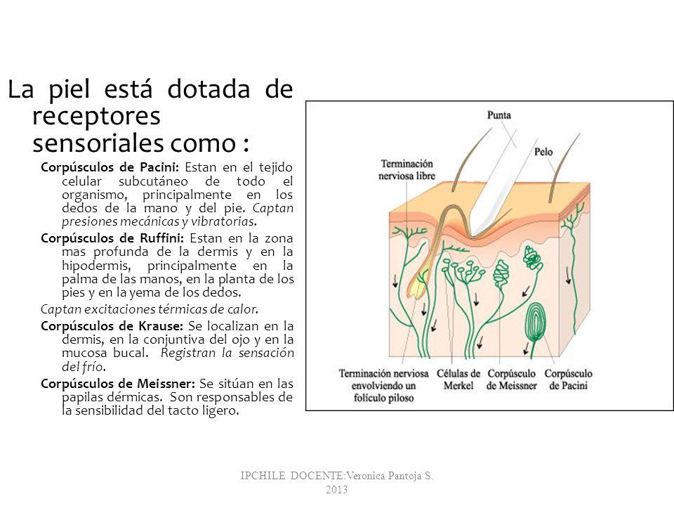 La piel está dotada de receptores sensoriales como : Corpúsculos de Pacini: Estan en el tejido celular subcutáneo de todo el organismo, principalmente