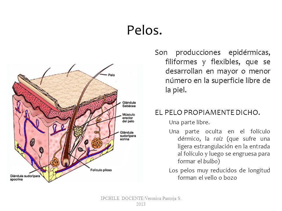 Pelos. Son producciones epidérmicas, filiformes y flexibles, que se desarrollan en mayor o menor número en la superficie libre de la piel. EL PELO PRO