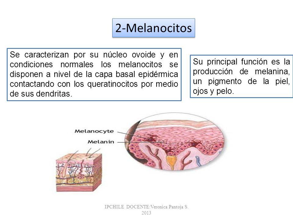 Glándula Sudorípara Existen dos tipos de glándulas sudoríparas: Las Ecrinas, se encuentran por casi toda la superficie del cuerpo y su número varia entre 2 y 5 millones.