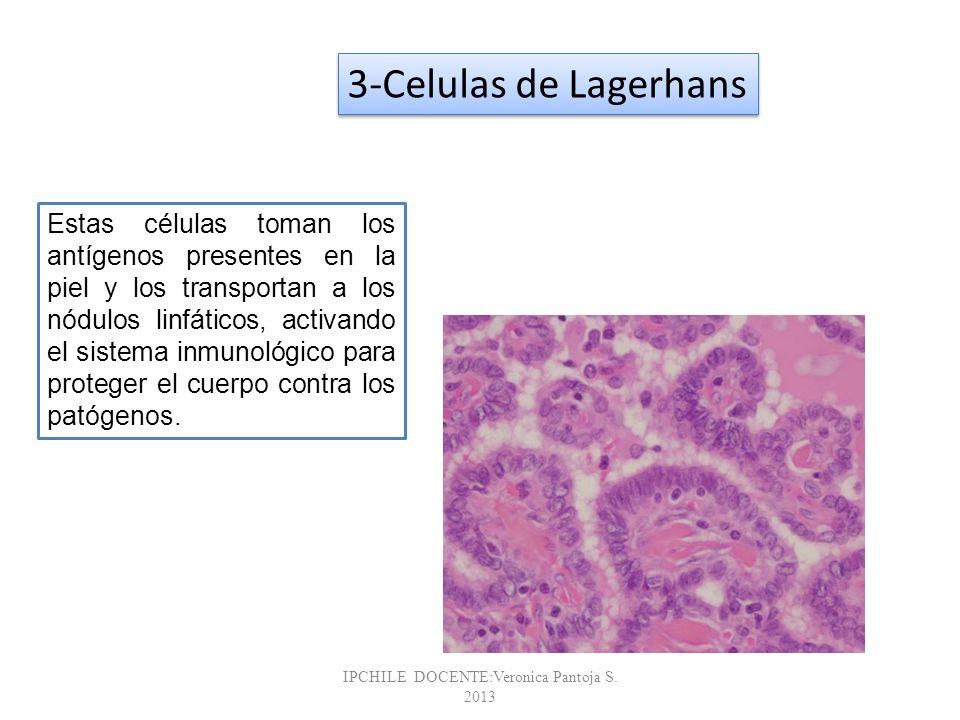 Glandulas sebáceas Glándulas sebáceas son generalmente conectadas a los folículos pilosos; Que están ausentes en las palmas y plantas Porción secretora de la glándula se encuentra en la dermis - Producir sebo Contiene colesterol, proteínas, grasas y sales Humecta pelos Impermeable y suaviza la piel Inhibe el crecimiento de bacterias y hongos (tiña) Acné - Bacteriana inflamación de las glándulas - Secreciones son estimuladas por las hormonas en la pubertad IPCHILE DOCENTE:Veronica Pantoja S.