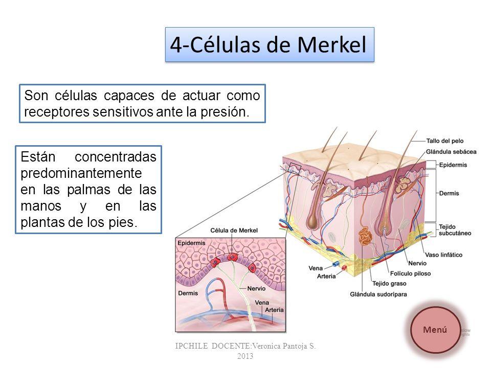 Son células capaces de actuar como receptores sensitivos ante la presión. Están concentradas predominantemente en las palmas de las manos y en las pla
