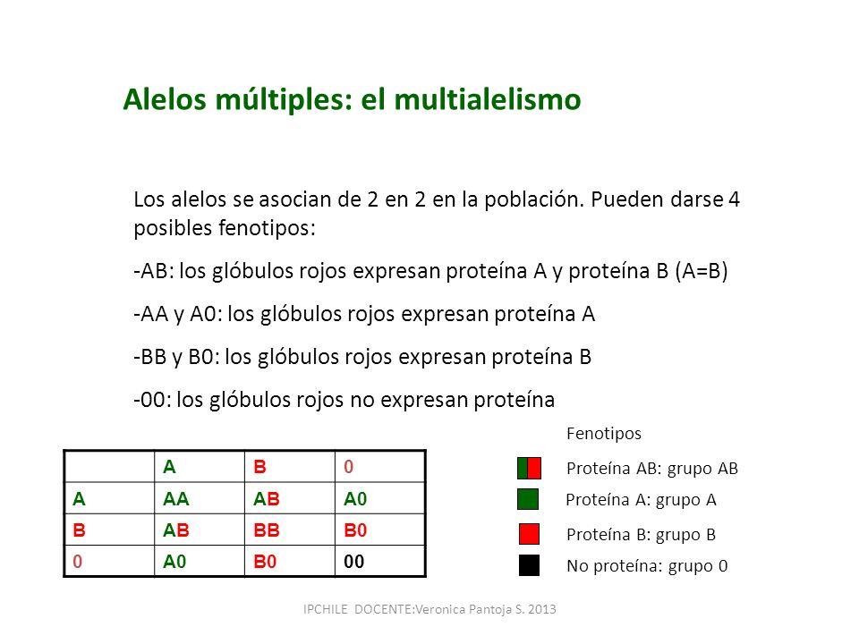 Alelos múltiples: el multialelismo Los alelos se asocian de 2 en 2 en la población. Pueden darse 4 posibles fenotipos: -AB: los glóbulos rojos expresa