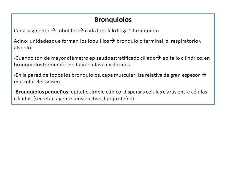 Bronquiolos Cada segmento lobulillos cada lobulillo llega 1 bronquiolo Acino: unidades que forman los lobulillos bronquiolo terminal, b. respiratorio