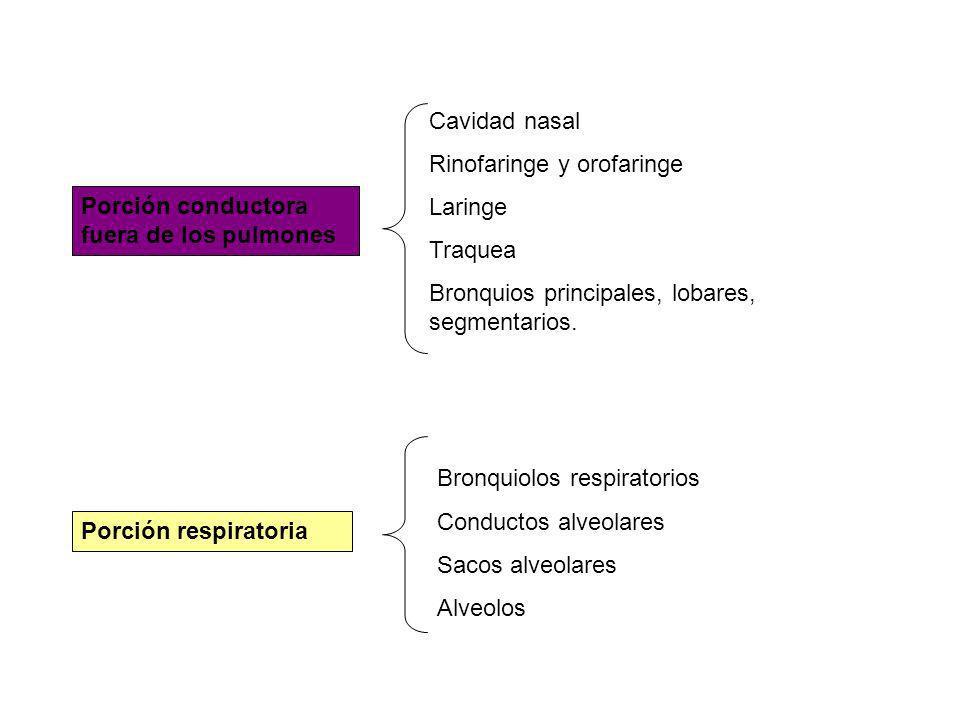 Membrana basal y lámina propia Bajo el epitelio membrana basal, fibras colágenas muy juntas, se considera parte de la lámina propia.