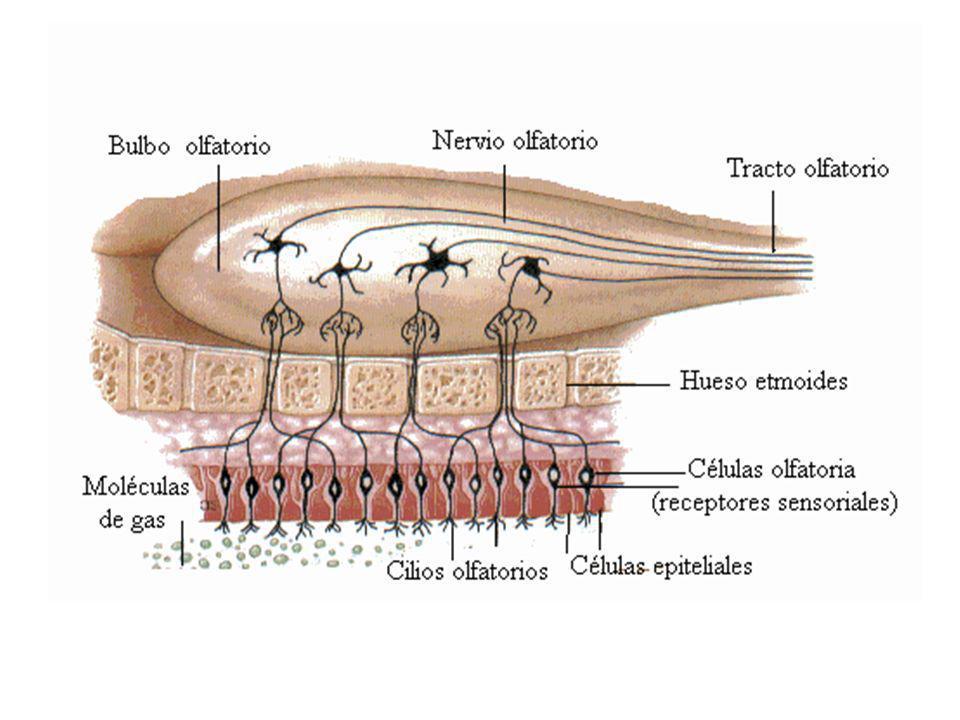 MUCOSA OLFATORIA 1.EPITELIO OLFATORIO 2.LA SUPERFICIE MUCOSA 3.NUCELO DE CELULAS DE SOPORTE 4.NUCLEOS DE CELULAS OLFATORIAS 5.NUCLEO DE CELULAS BASALES 6.LAMINA PROPIA 7.GLANDULAS OLFATORIAS (BOWMAN´S) 8.ARTERIOLA 9.EPITELIO RESPIRATORIO 10.CILIOS 11.CELULAS CALICIFORMES 12.CONDUCTOS DE LAS GLÁNDULAS DE BOWMAN´S 13.VENULA 14.NERVIO OPLFATORIO.
