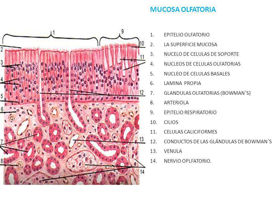 MUCOSA OLFATORIA 1.EPITELIO OLFATORIO 2.LA SUPERFICIE MUCOSA 3.NUCELO DE CELULAS DE SOPORTE 4.NUCLEOS DE CELULAS OLFATORIAS 5.NUCLEO DE CELULAS BASALE