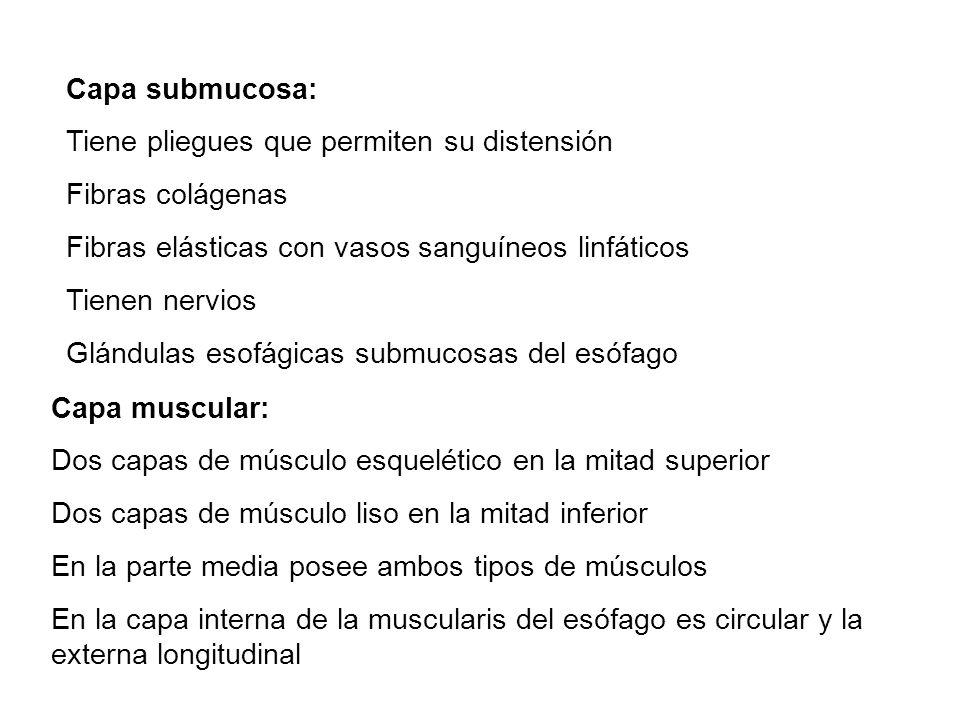 Capa submucosa: Tiene pliegues que permiten su distensión Fibras colágenas Fibras elásticas con vasos sanguíneos linfáticos Tienen nervios Glándulas e