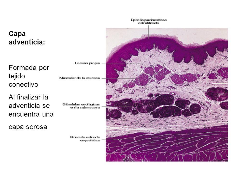 Capa adventicia: Formada por tejido conectivo Al finalizar la adventicia se encuentra una capa serosa