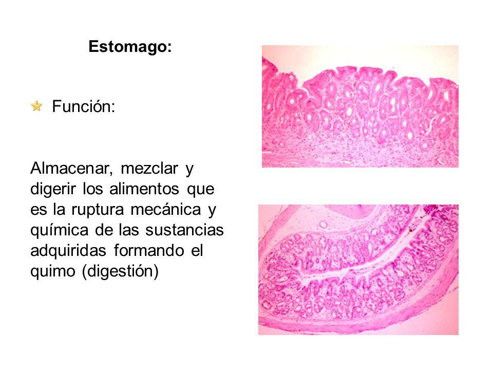 Estomago: Función: Almacenar, mezclar y digerir los alimentos que es la ruptura mecánica y química de las sustancias adquiridas formando el quimo (dig