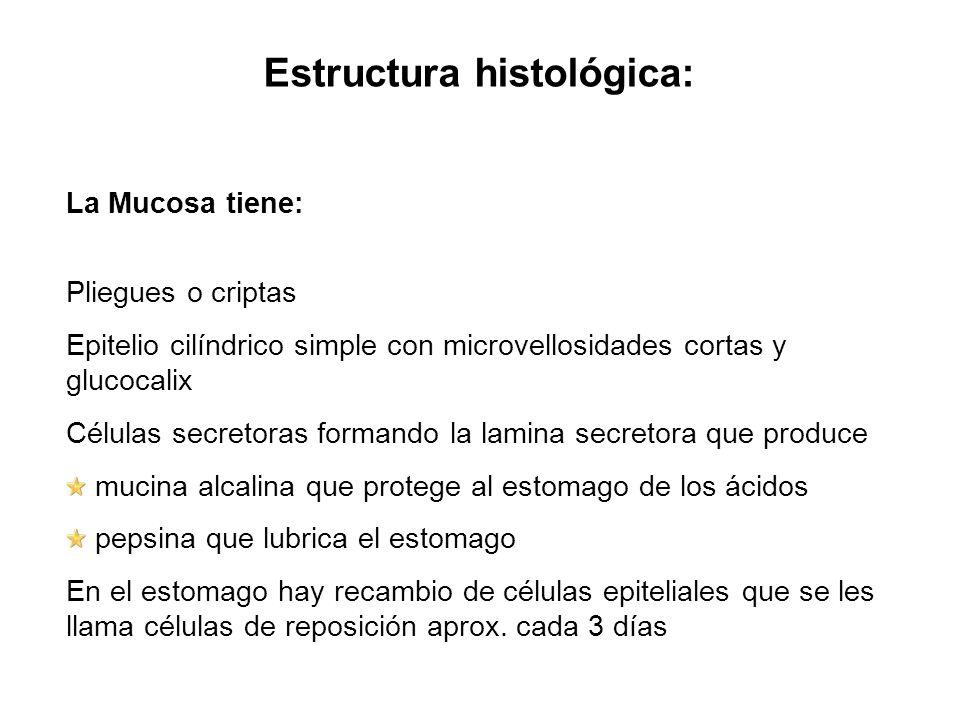 Estructura histológica: La Mucosa tiene: Pliegues o criptas Epitelio cilíndrico simple con microvellosidades cortas y glucocalix Células secretoras fo